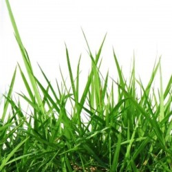 Gras (10ml)
